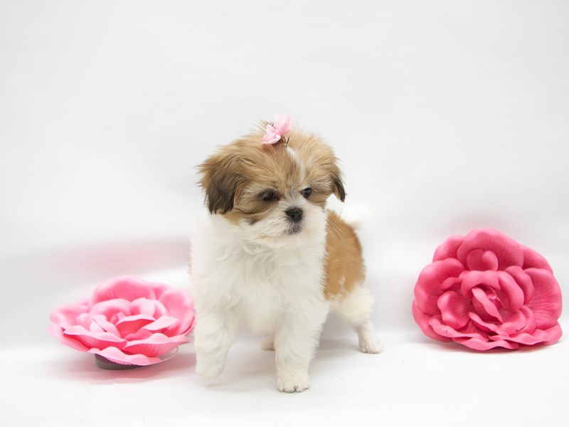 Lhasa Apso-Female-White & Gold-2649647-Petland Wichita, KS