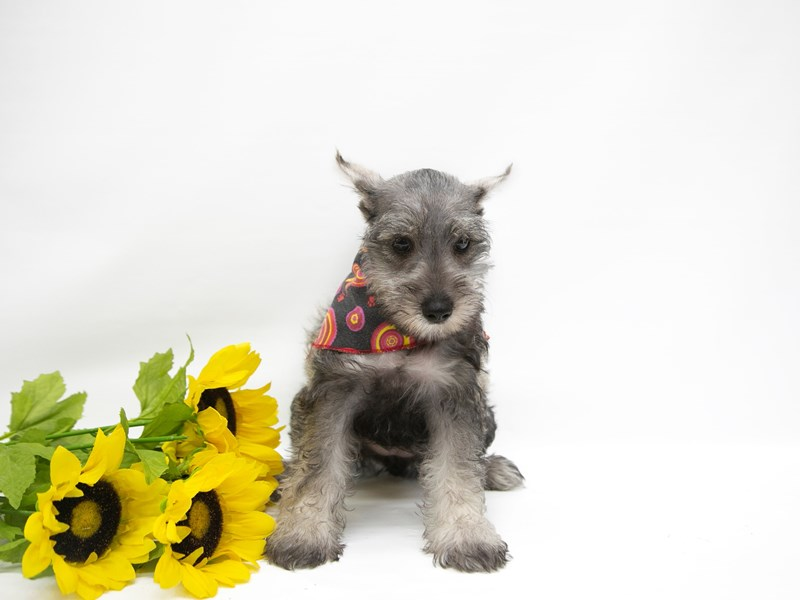 Miniature Schnauzer-Female-Salt & Pepper-2649637-Petland Wichita, KS