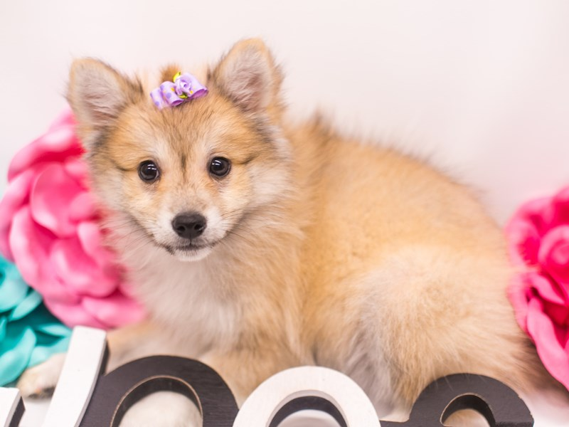 Shibo-DOG-Female-Red-2656912-Petland Wichita, KS