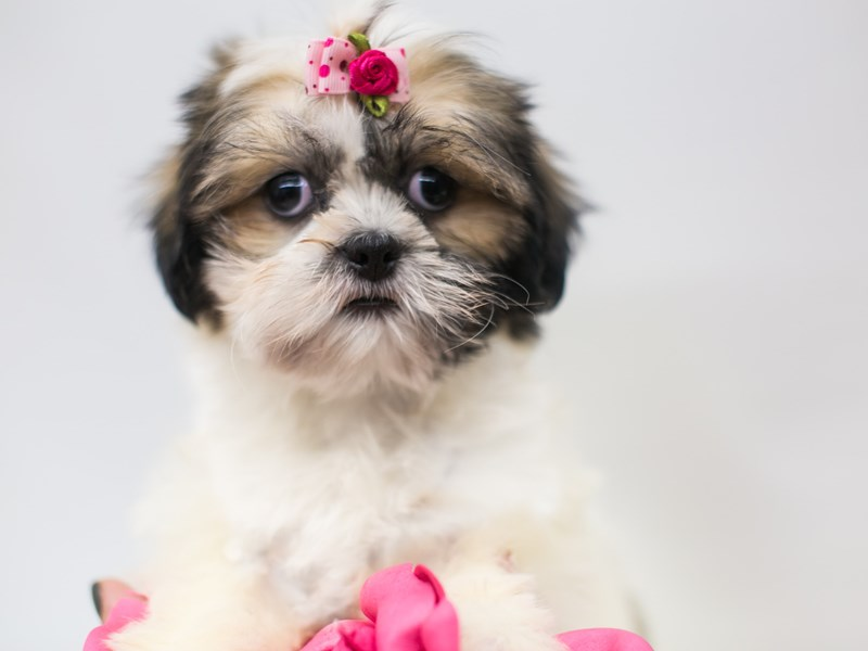Shih Tzu-DOG-Female-Gold and White-2655563-Petland Wichita, KS