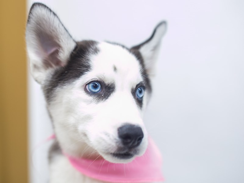 Siberian Husky-Female-Black and White-2655572-Petland Wichita, KS