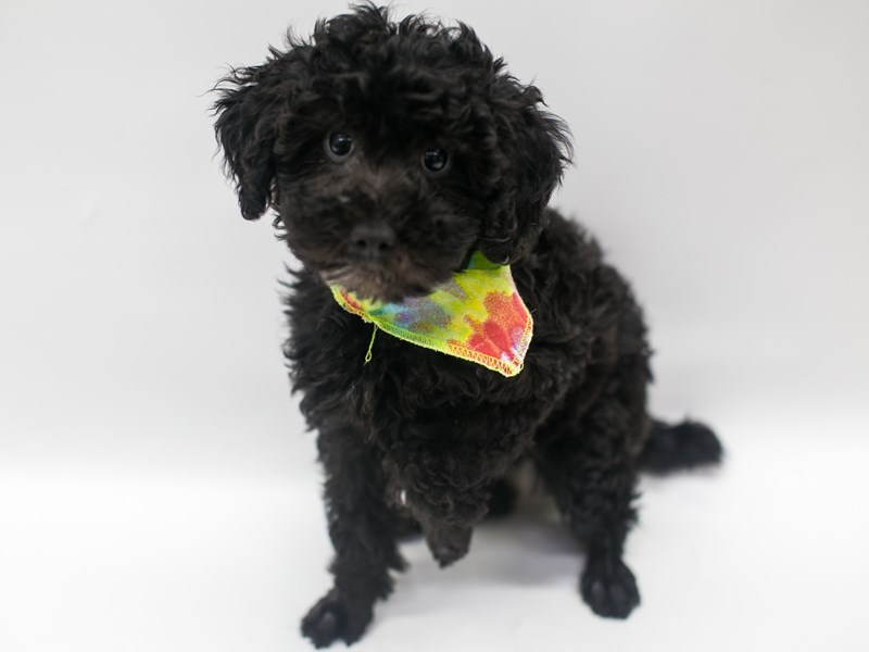 Miniature Poodle-Male-Black-2656863-Petland Wichita, KS