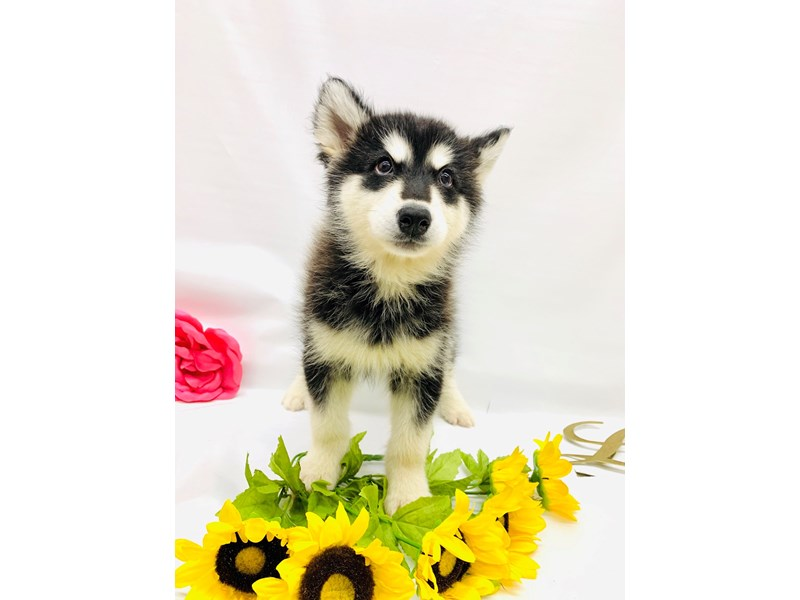 Alaskan Malamute-DOG-Female-Black and White-2662348-Petland Wichita, KS