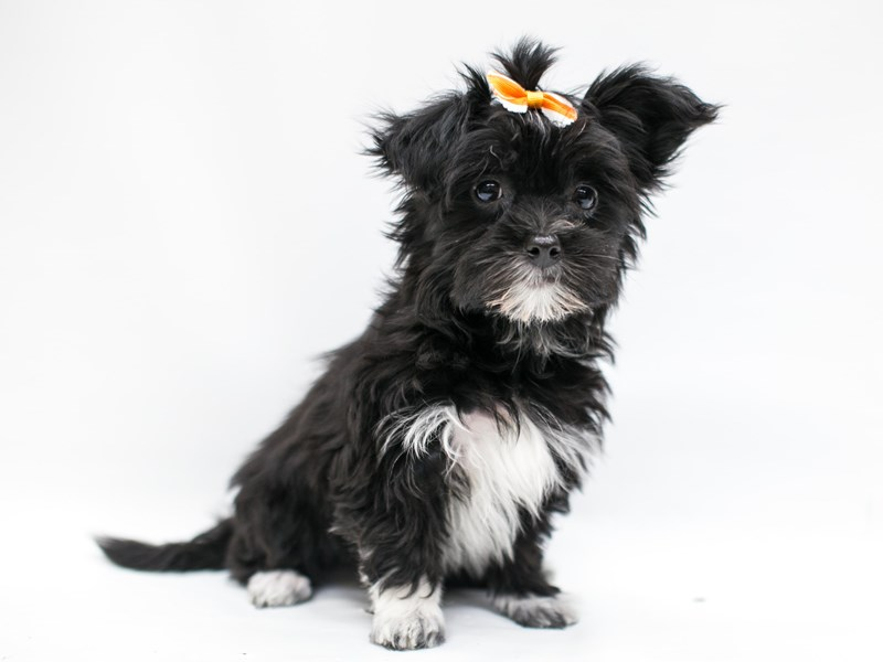 Yorkie Poo-Female-Black & White-2582737-Petland Wichita, KS