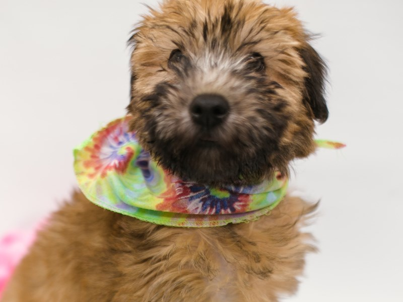 Soft Coated Wheaten Terrier-Male-Wheaten-2634456-Petland Wichita, KS