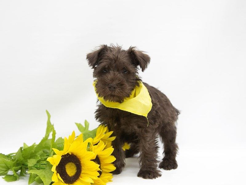 Miniature Schnauzer-DOG-Male-Chocolate-2649870-Petland Wichita, KS