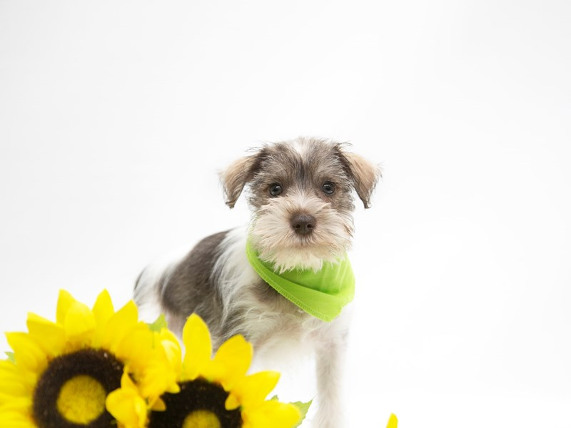 Miniature Schnauzer-DOG-Male-Liver Parti-2649867-Petland Wichita, KS