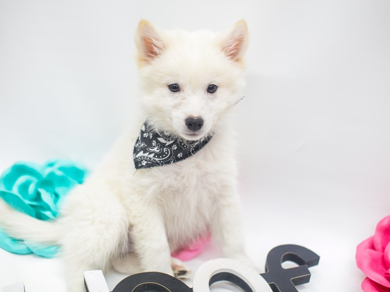 Shibo-Male-Cream-2656908-Petland Wichita, KS
