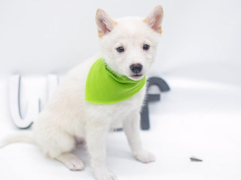 Shibo-Male-Cream-2656909-Petland Wichita, KS
