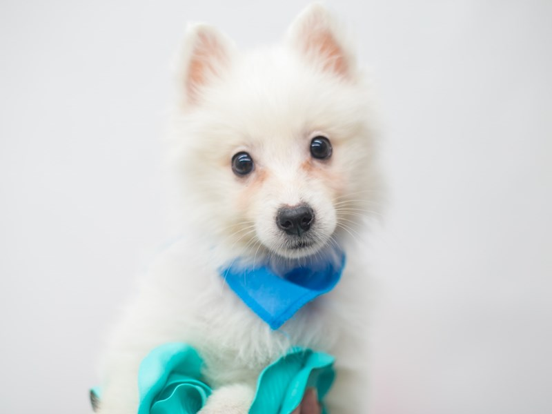 Shibo-Male-Cream-2656897-Petland Wichita, KS