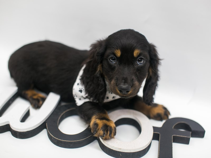 Miniature Dachshund-Male-Black & Tan-2656882-Petland Wichita, KS