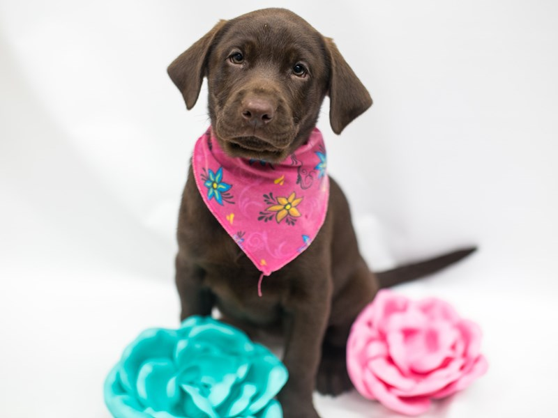 Labrador Retriever-DOG-Female-Chocolate-2669286-Petland Wichita, KS