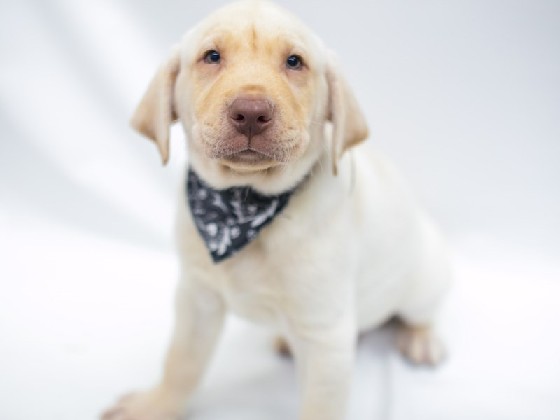 Labrador Retriever-DOG-Male-Yellow-2669281-Petland Wichita, KS