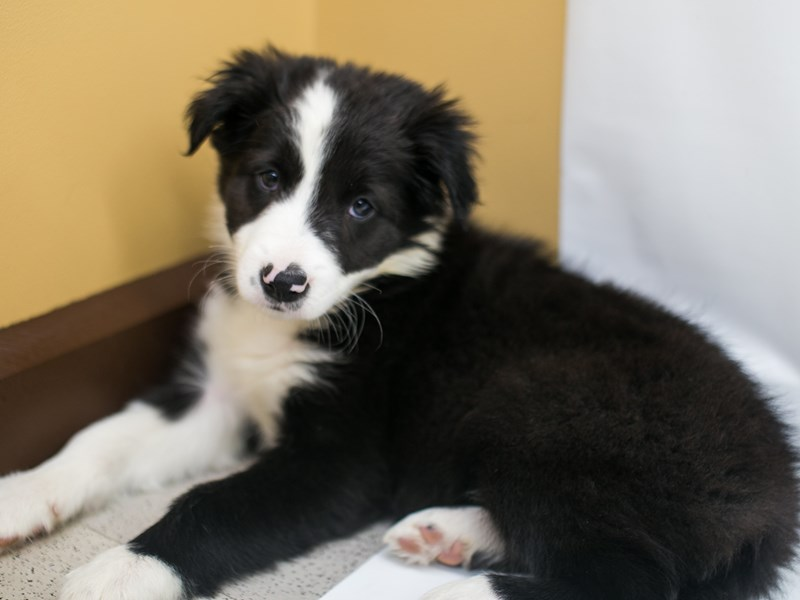 Border Collie-DOG-Male-Black & White-2669219-Petland Wichita, KS
