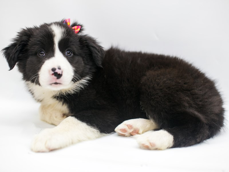 Border Collie-Female-Black & White-2669217-Petland Wichita, KS