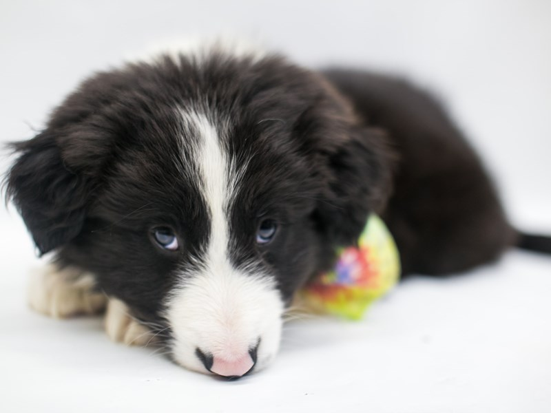 Border Collie-Male-Black & White-2669212-Petland Wichita, KS