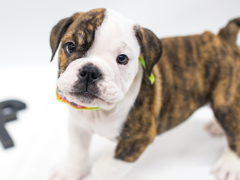 English Bulldog-DOG-Male-Brindle Pibald-2669152-Petland Wichita, KS