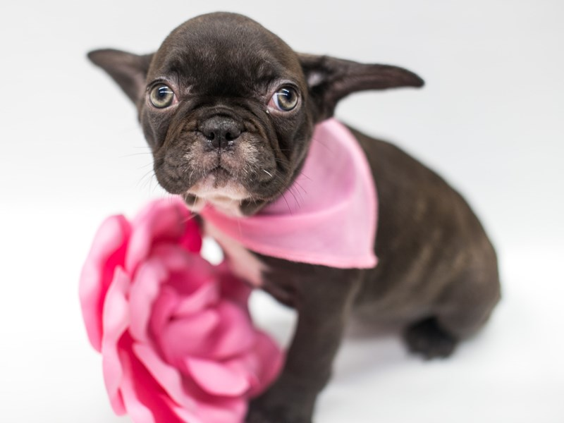 French Bulldog-DOG-Female-Chocolate Brindle-2669070-Petland Wichita, KS