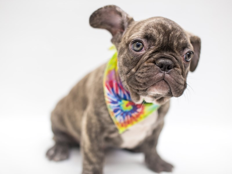 French Bulldog-Male-Reverse Chocolate Brindle-2669042-Petland Wichita, KS