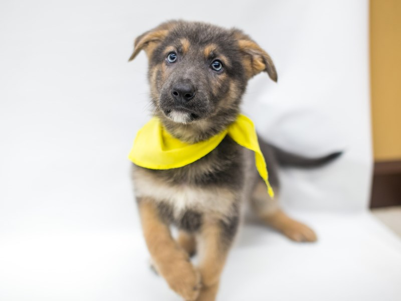 German Shepherd-Male-Blue & Tan-2668981-Petland Wichita, KS