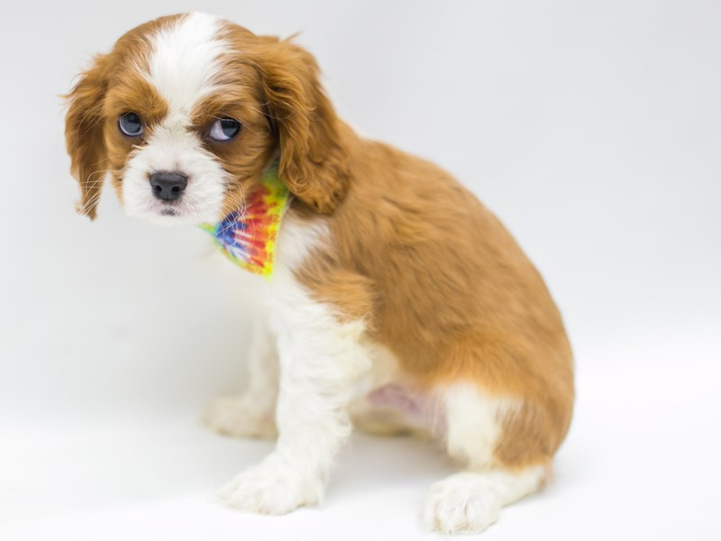 Cavalier King Charles Spaniel-Male-Blenheim-2668945-Petland Wichita, KS