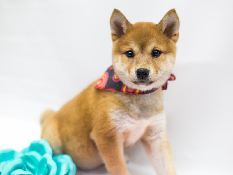 Shiba Inu-DOG-Female-Red Sesame-2675785-Petland Wichita, KS
