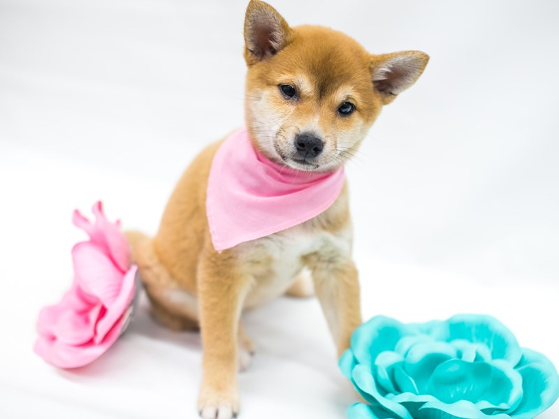 Shiba Inu-Female-Red-2662368-Petland Wichita, KS