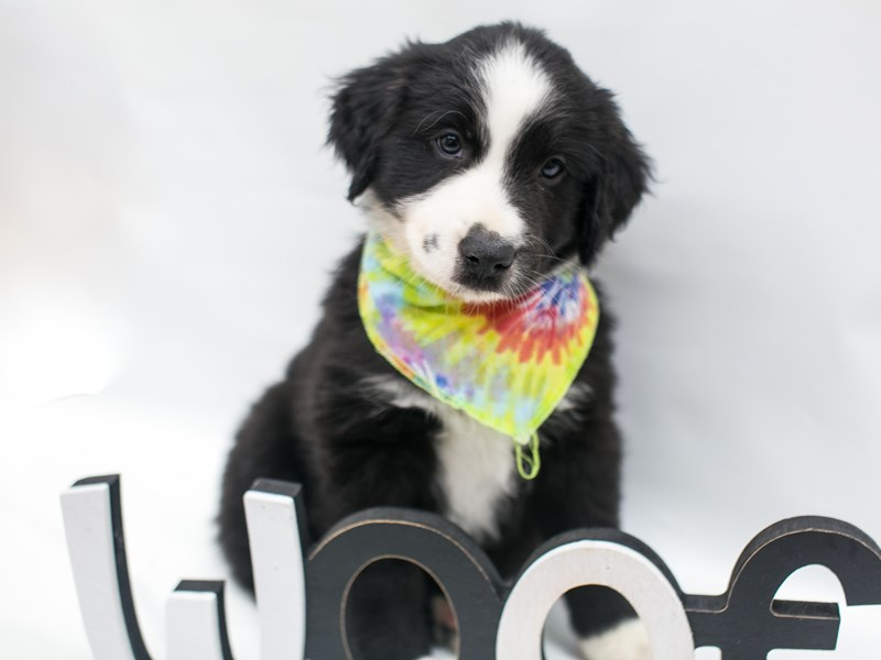 Miniature Australian Shepherd-DOG-Male-Black & White-2675664-Petland Wichita, KS