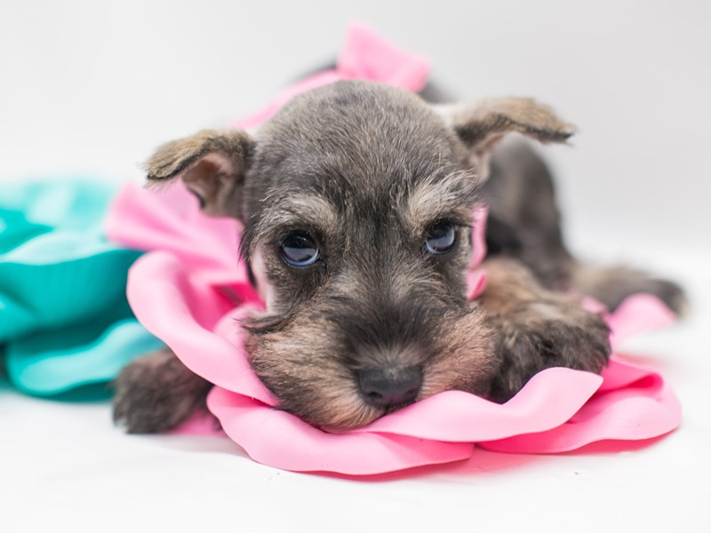 Miniature Schnauzer-DOG-Female-Salt & Pepper-2682119-Petland Wichita, KS