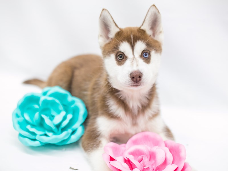 Siberian Husky-Female-Red & White-2682082-Petland Wichita, KS