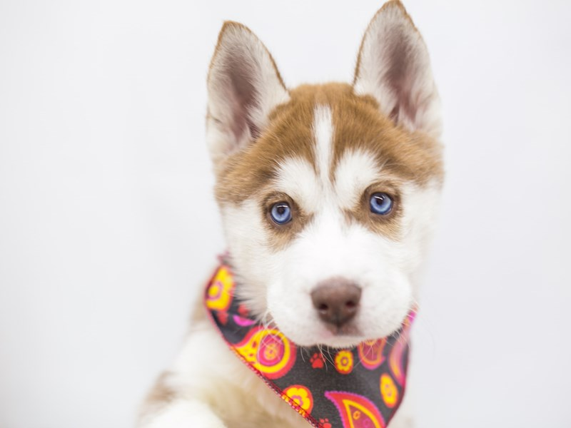 Siberian Husky-Female-Red & White-2682080-Petland Wichita, KS