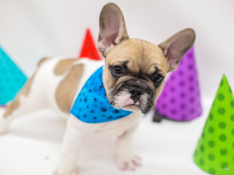 French Bulldog-DOG-Male-Fawn Piebald-2682068-Petland Wichita, KS
