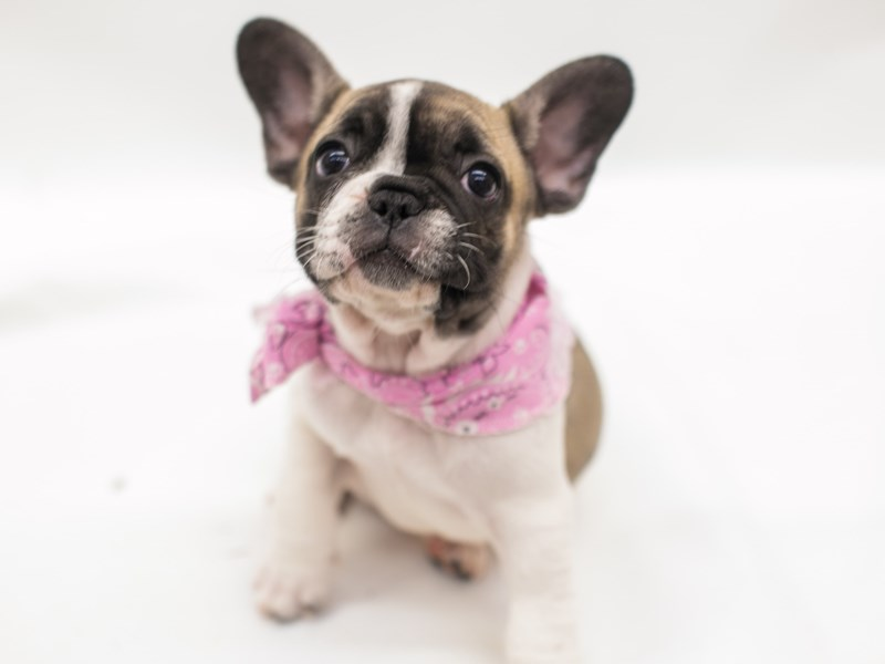 French Bulldog-Female-Fawn Piebald-2682044-Petland Wichita, KS
