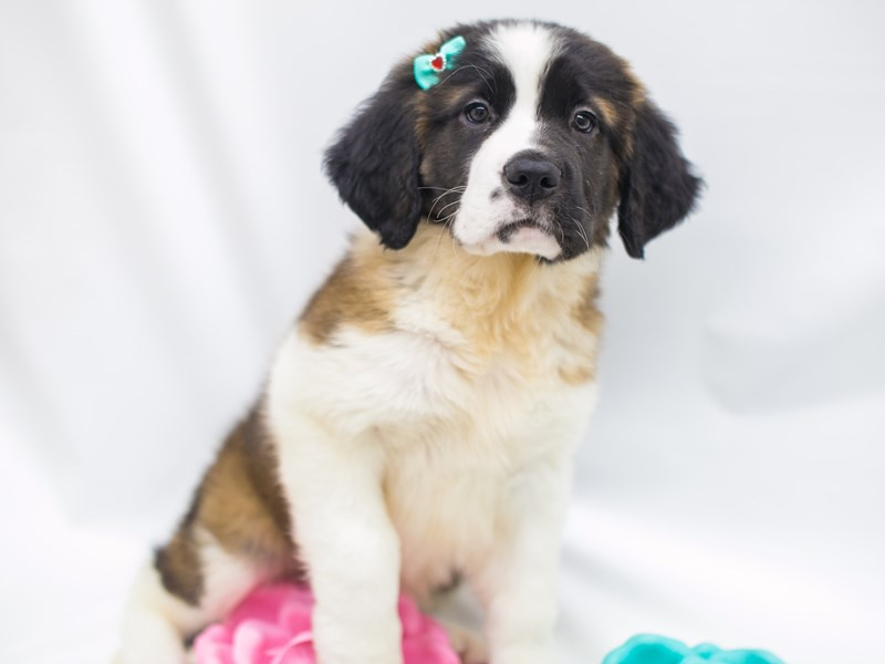 Saint Bernard-DOG-Female-Mahogany Tricolor-2681383-Petland Wichita, KS