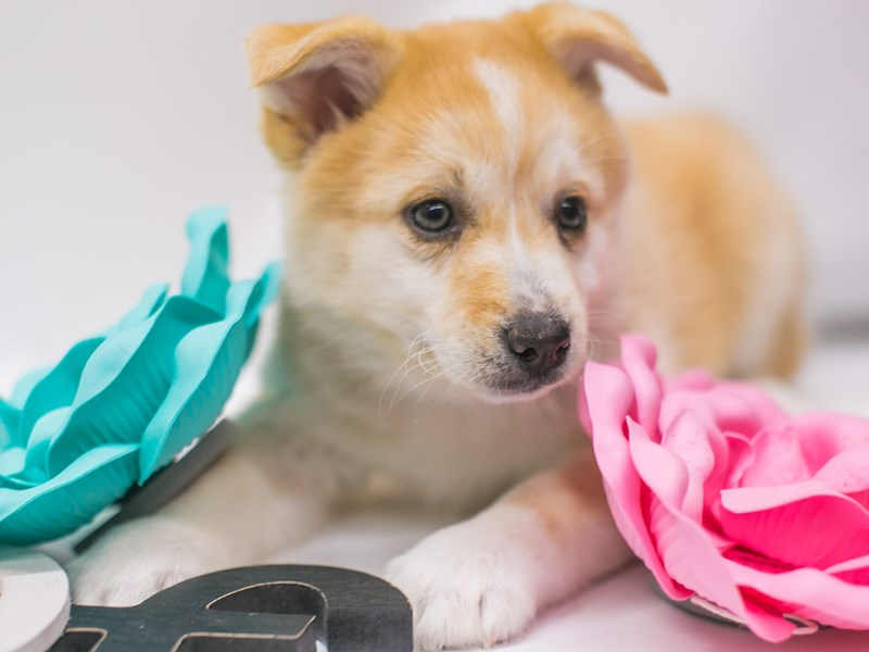 Pomsky-Female-Red & White-2689157-Petland Wichita, KS