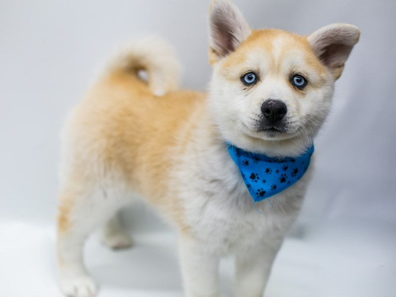 Pomsky-DOG-Male-Red & White W/ Blue Eyes-2689144-Petland Wichita, KS