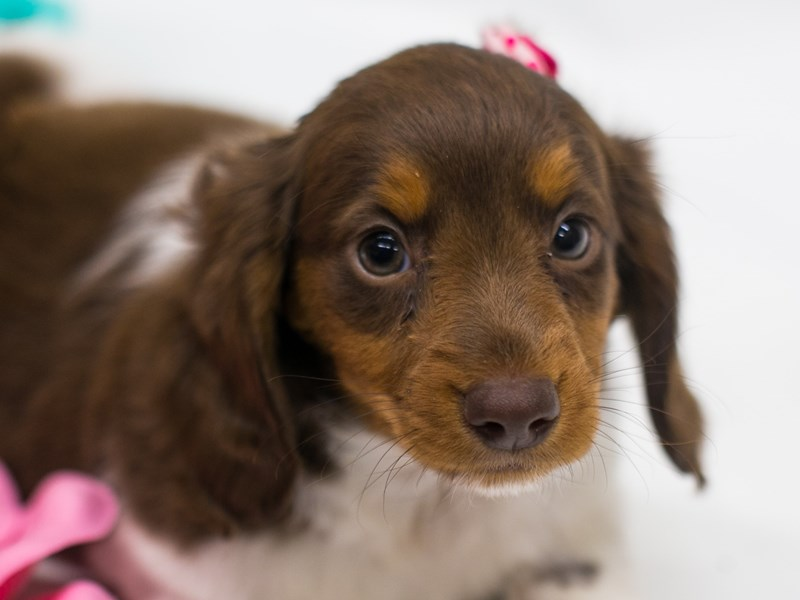 Miniature Dachshund-DOG-Female-Red Tri-2689006-Petland Wichita, KS