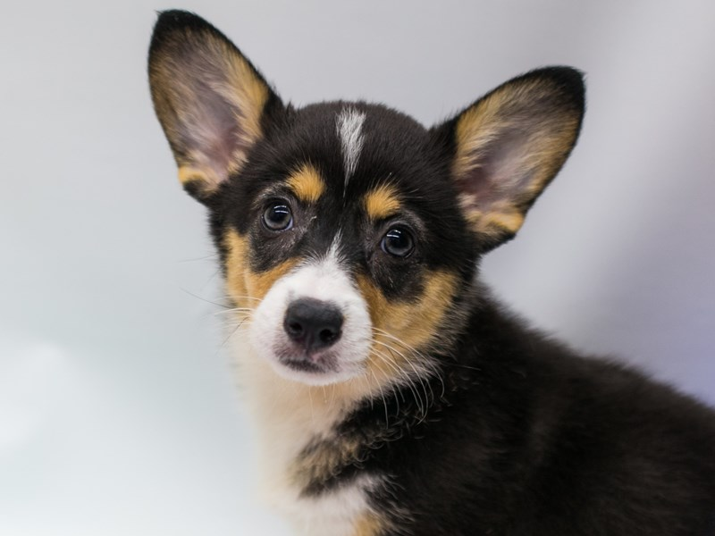 Pembroke Welsh Corgi-Female-Tri Color-2688971-Petland Wichita, KS