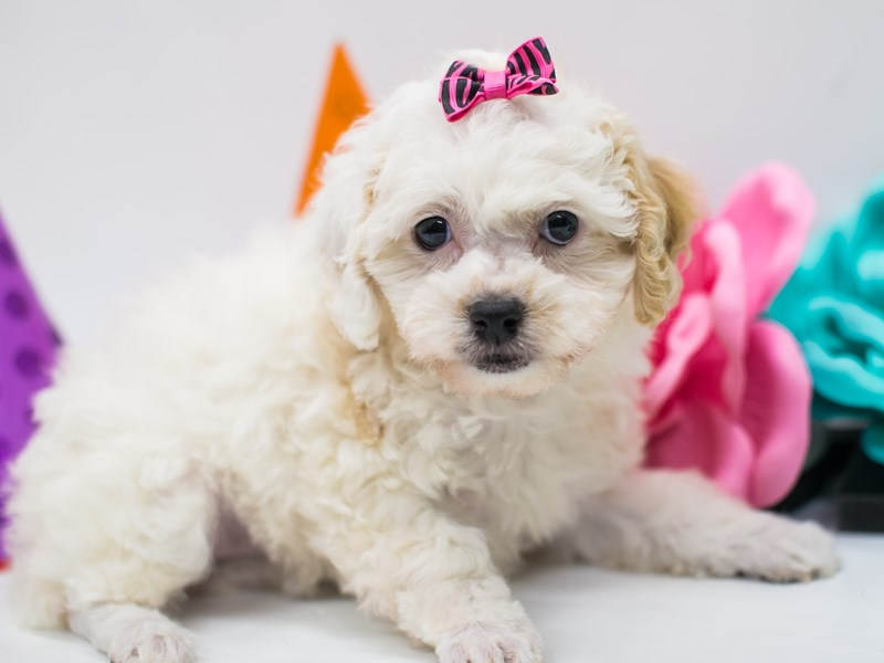 Toy Poodle-Female-Apricot Parti-2688965-Petland Wichita, KS