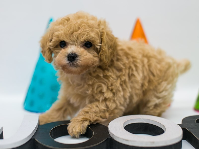 Toy Poodle-Male-Apricot-2688933-Petland Wichita, KS