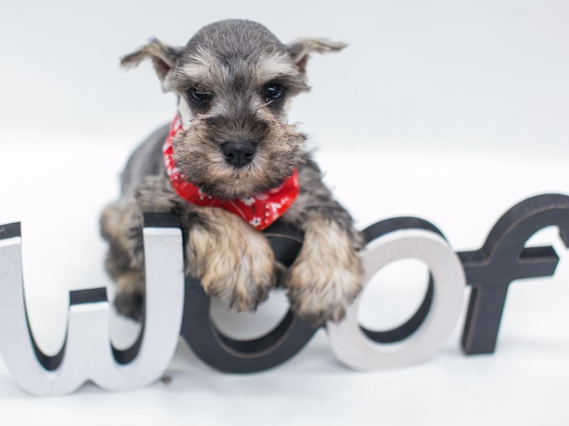 Miniature Schnauzer-DOG-Male-Salt & Pepper-2682117-Petland Wichita, KS