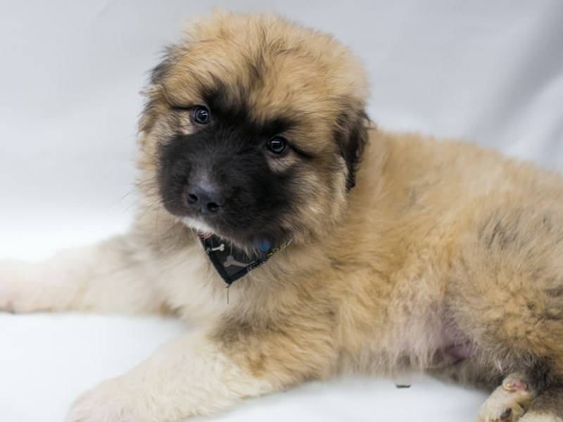 Anatolian Pyrenees-Male-Sable-2689111-Petland Wichita, KS