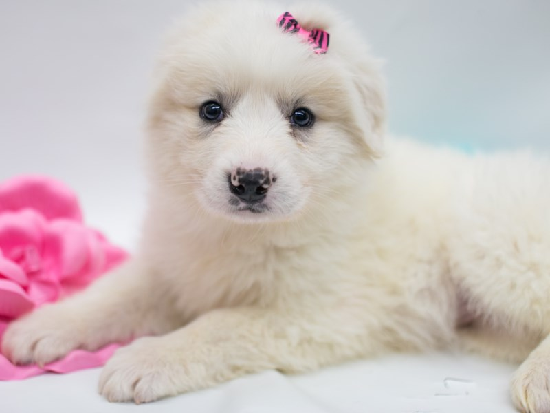 Anatolian Pyrenees-Female-White-2689061-Petland Wichita, KS