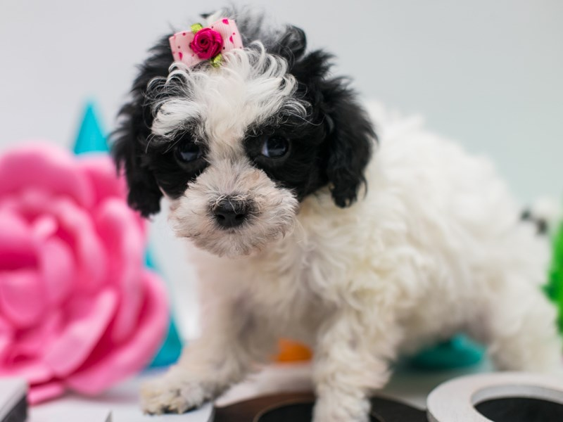 Toy Poodle-Female-Black Parti-2688962-Petland Wichita, KS