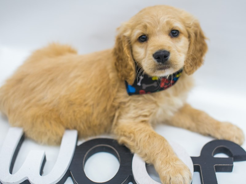 Mini Golden Retriever-DOG-Male-Gold-2695394-Petland Wichita, KS