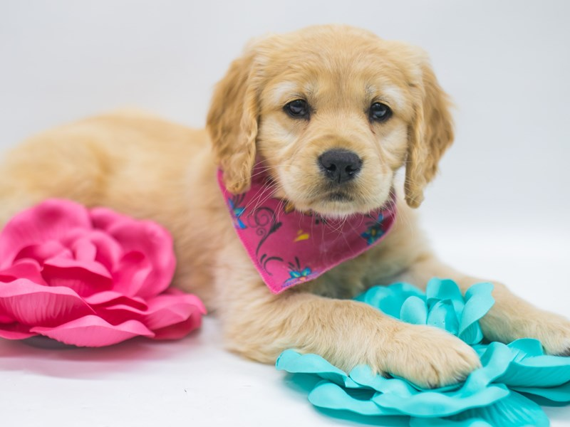 Mini Golden Retriever-Female-Gold-2695392-Petland Wichita, KS