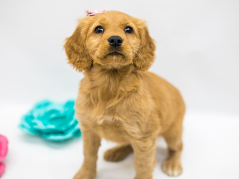 Mini Golden Retriever-Female-Gold-2695389-Petland Wichita, KS