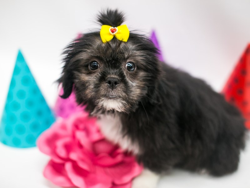 Shih Poo-Female-Black & White-2694967-Petland Wichita, KS