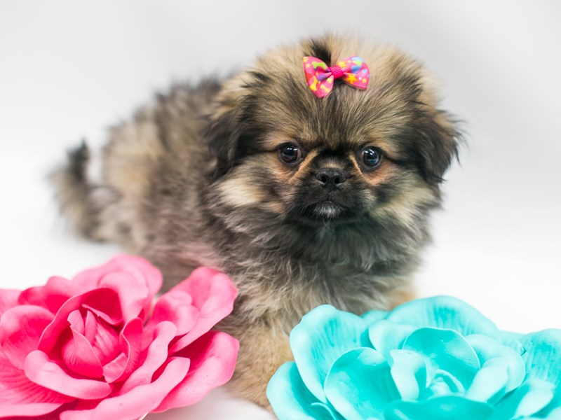 Peke Pom-Female-Dark Sable-2694965-Petland Wichita, KS