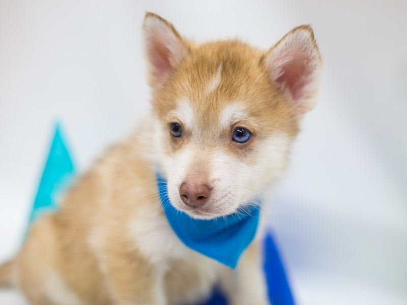 Pomsky-Male-Red Sable-2694847-Petland Wichita, KS